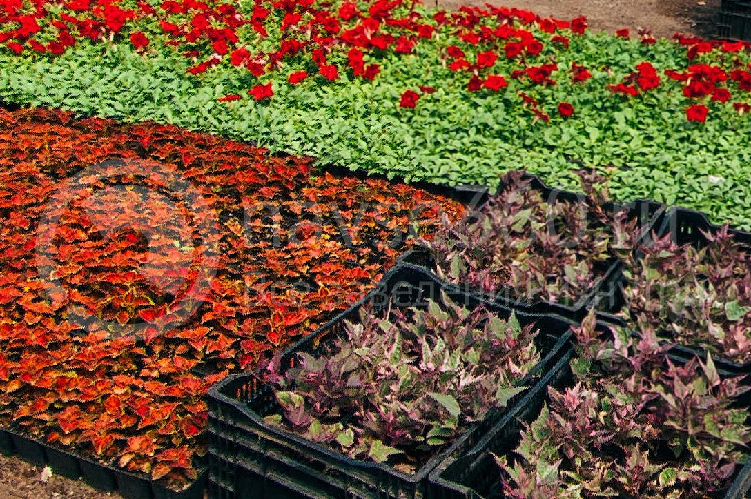 совхоз цветочный, рассада оптом краснодар 19