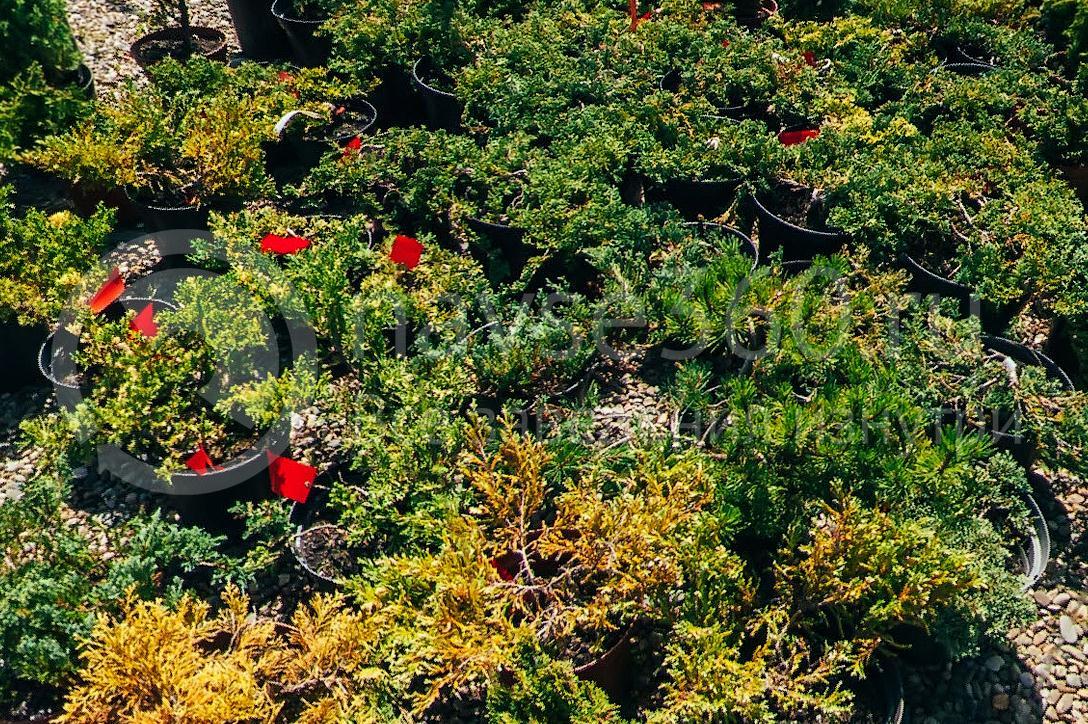 совхоз цветочный, рассада оптом краснодар 28
