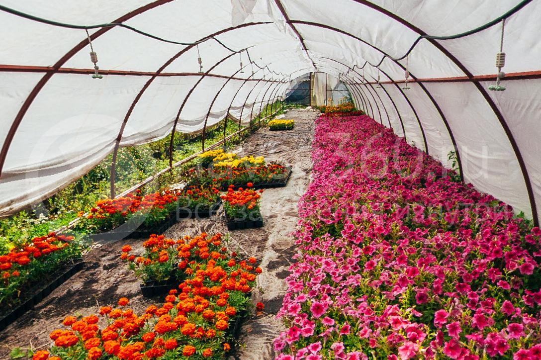 совхоз цветочный, рассада оптом краснодар 31