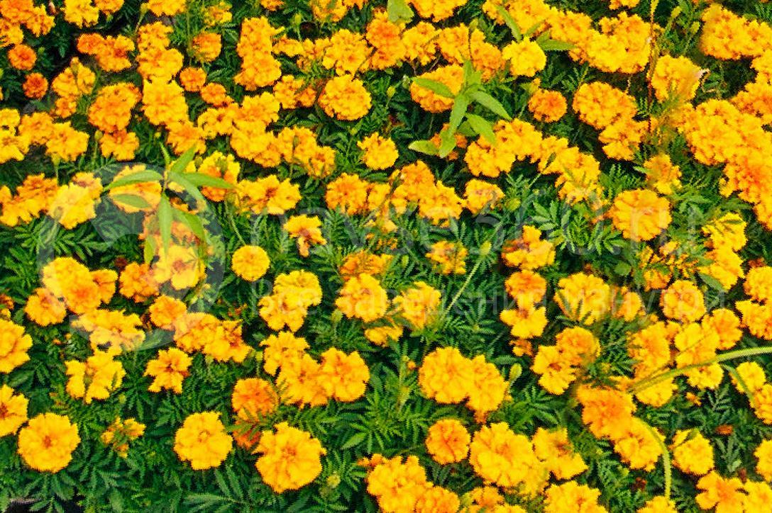 совхоз цветочный, рассада оптом краснодар 35