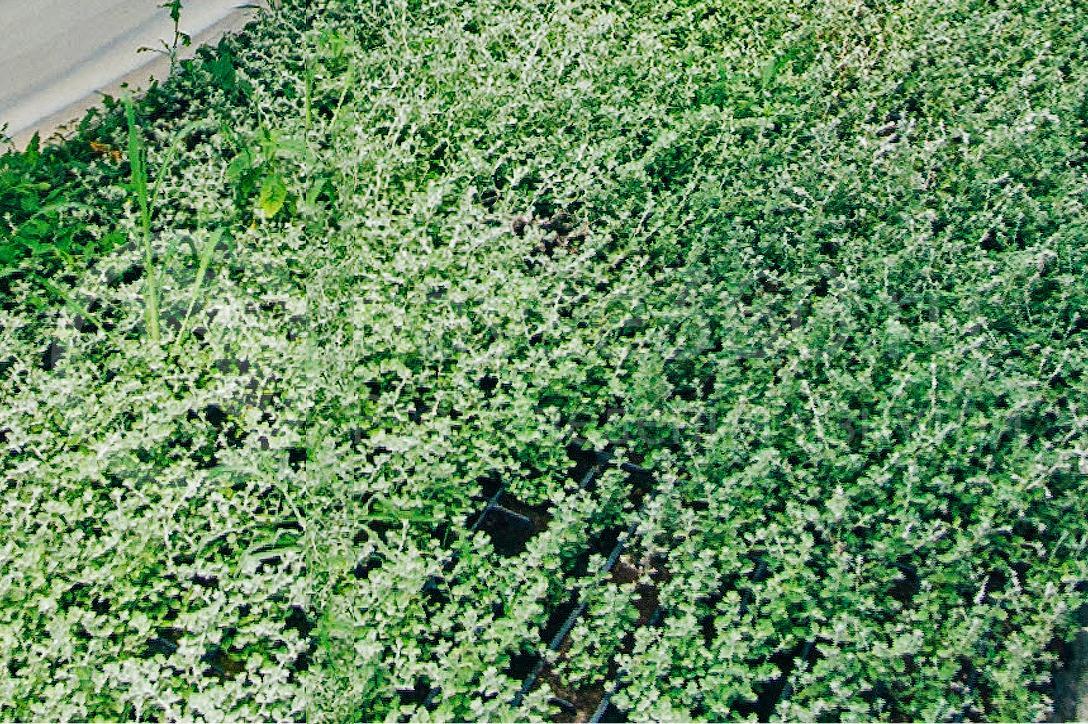 совхоз цветочный, рассада оптом краснодар 36
