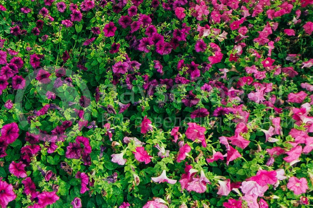 совхоз цветочный, рассада оптом краснодар 37